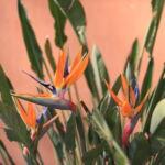 Fleurs oiseaux de paradis