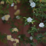 Roses des chambres d'hôtes