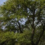 Le grand chêne du jardin